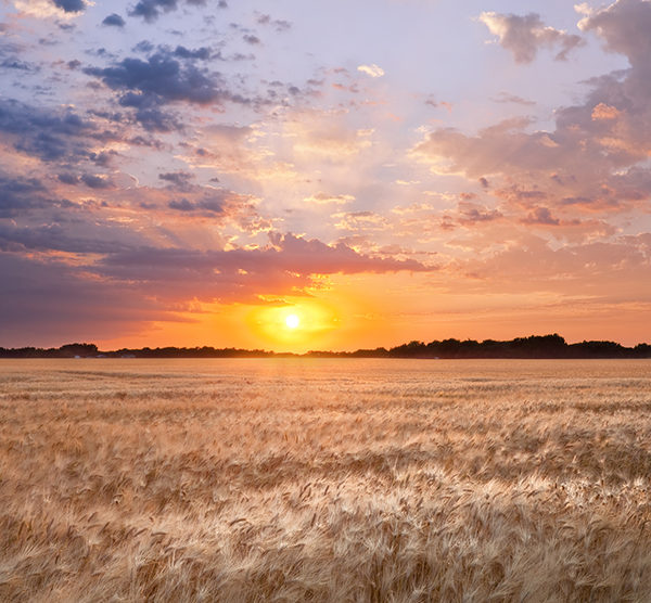 Wheat field in North Dakota